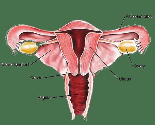 Vaginal wall during sex