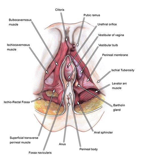 A Closer Look At The Structure Of The Vagina My Vagina