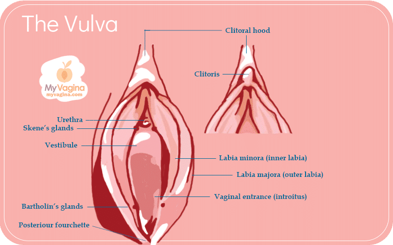 the best vulva and vagina diagrams on the internet