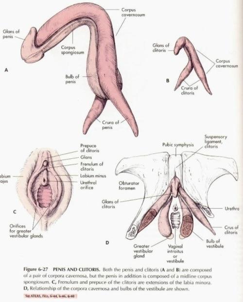 Clitoris and penis comparison