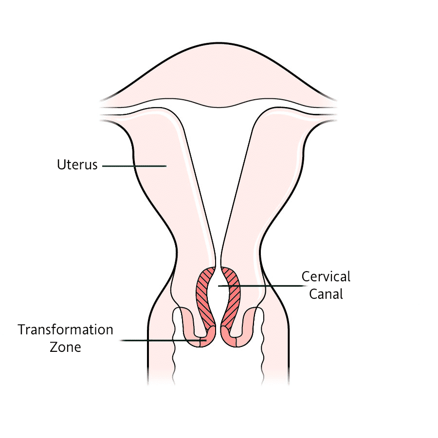 A Normal Cervix And How To Care For It My Vagina
