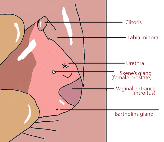 Skene's Gland Diagram