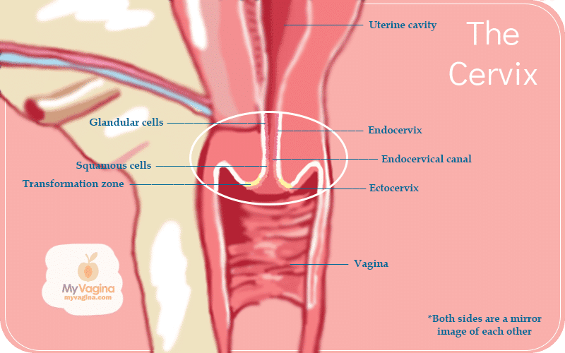 Reproductive Tract Cervix
