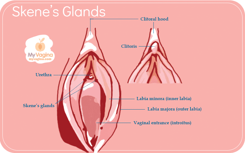 The Vulva Skene's Glands FULL VERSION